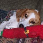 A sleepy looking Katie the Beagle